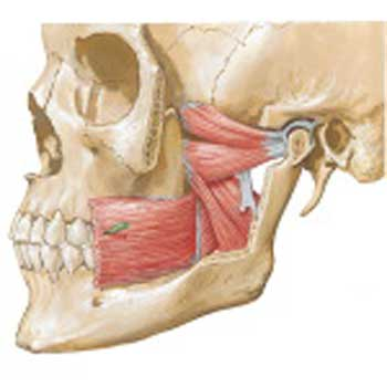 Muscles of Mastication: and their functions