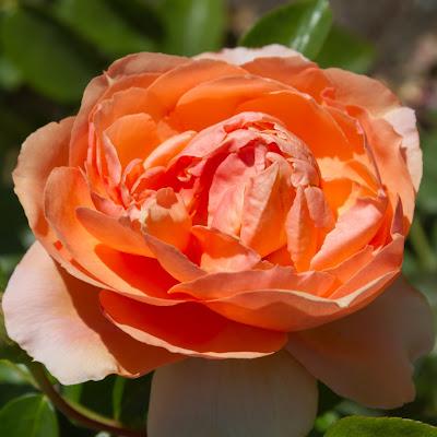 peach roses flowers