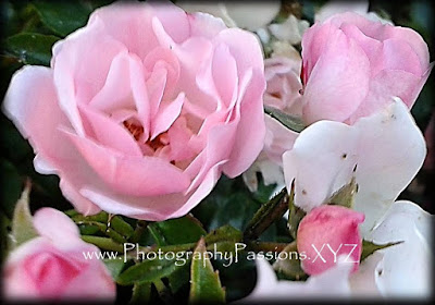 http://www.photographypassions.xyz/2015/12/flower-photography-pink-rose-varieties.html