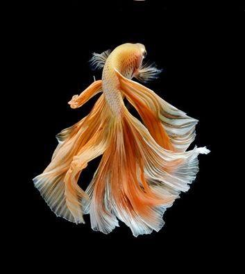 قائمة أسماك الزينة
