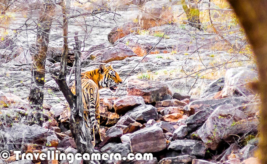"Tigers live in the jungle. Any two year old can tell you that. But the two year old will probably not know how close we had come to not having any tigers in our jungles. In 2008 we had only about 1400 individuals in the wild. Since then, because of various conservation efforts, the population has shown and increase and stands at 2226 as per the 2014 survey. Though this is a good sign, we still have a long way to go. While the government is taking steps in this direction, we, the common public, can do a great deal too.I have given it a fair amount of thought and at first I thought that the only thing we can do is pray, but as I went on wildlife safaris and read more about Tigers, I realized that there are some little steps each of us can take that will go a long way:1) Treat wildlife with respect when you go for safaris - I have been to several wildlife safaris and during some of them I was horrified to see the behaviour of the tourists, as well as, in some cases, of the tour operators. They drive up too close to the animals and make a lot of noise. They forget that jungles are actually homes of these creatures and we are just guests, and that too uninvited. We need to give these animals their privacy. Tigers in general are the centre of attraction in most of these safaris, and as soon as a tiger is sighted, every jeep in the vicinity heads to the place where it has been sighted. Imagine yourself in place of the tiger. You are out for an afternoon siesta and suddenly you find yourself surrounded by 10-12 metallic giants with about 9 humans in each. You want to have nothing to do with these humans and you keep your distance, but these metallic giants keep inching closer, until you aren't comfortable anymore.The end result of such a situation will probably be another T-24 (the infamous tiger of Ranthambore that was recently confined after it killed a forest guard, its fourth human victim). As the distance between humans and tigers is compromised, several issues emerge. Tigers lose the fear of humans, and with that the chances of human-animal conflict increase.So when we go on safaris, we should be mindful of this fact and not tolerate any unruly behavior on the part of our fellow travellers or the staff manning the tour vehicles.2) Understand and accept the fact that this planet belongs as much to the tigers as it does to us - By now I think everyone is clear that we aren't God's gift to the planet Earth. We are inconsiderate looters who have been draining the planet of its resources. We have failed to respect nature and the natural order of things. And by this measure, almost all other species are superior to us. All creatures except Humans live in complete harmony with nature. So in fact they deserve the planet more than us. So when a man jumps into a tiger enclosure despite all fences and barricades and the tiger kills him when the public starts throwing rocks at the animal, don't ask irrelevant questions like ""Why didn't they shoot the tiger? Human life ko koi value nahi hai kya?"" You may not like the answer. Today, a tiger's life is indeed more precious than a human beings.Believe this truth and go be an advocate for the tigers. Spread the word. No human disease is worth curing if the cure requires killing of a tiger. Speak against people who propagate such beliefs.3) Invest some time and energy and spend some time doing tiger safaris. This will not only fund the conservation efforts it will also enable you to write/speak about Tigers and their conservation with much more authority. Write about tigers, share heartwarming stories about tigers and their cubs. Move your readers and inspire them to take part in campaigns such as #AircelSaveOurTigers. Create an army of people who love tigers and inspire them to further inspire other people. Let us become a nation of people who love wild tigers. And most importantly never stop teaching your children that tigers live in the jungle - because tigers will exist as long as the world has a few people who believe that tigers should live in the jungle. Help contribute to this pool of people. #AircelSaveOurTigers."