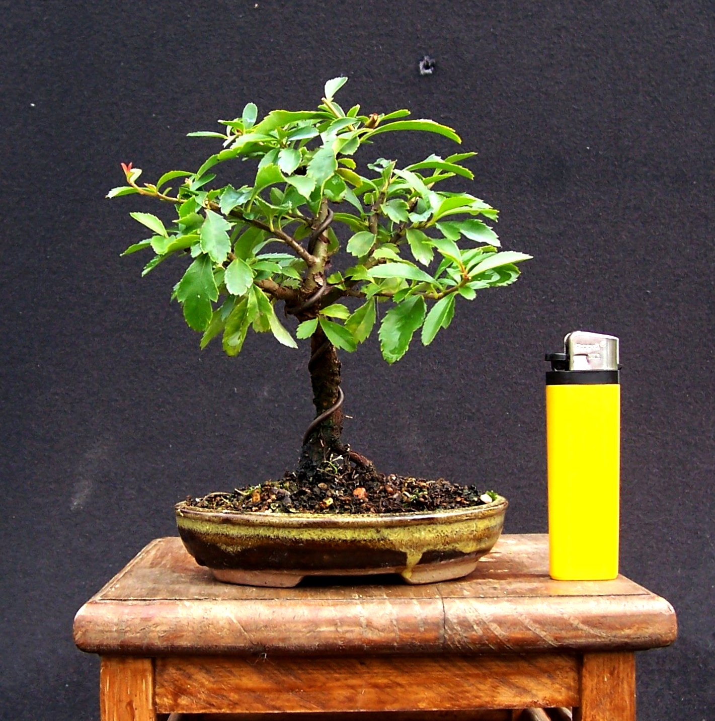 MiKo Bonsai Mame And Shohin Bonsai
