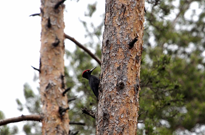 Black Woodpecker in a forest close to Nuremberg