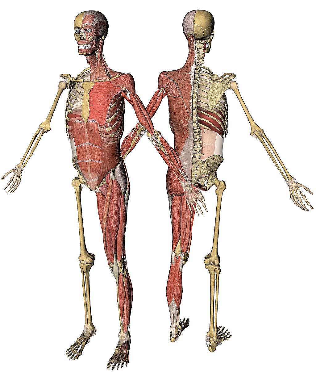 Colorful Real 3d Anatomy Sketch - Anatomy Ideas - yunoki.info