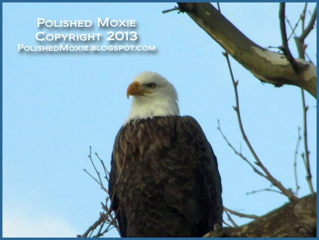 Image of adult bald eagle close up in profile.