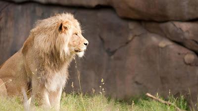 lion-close-up-image-hd