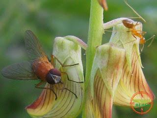 Lalat Merah dan Semut Merah