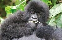 Please save the Mountain Gorillas