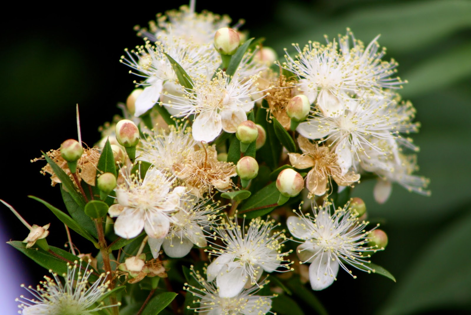 dwarf greek myrtle bloom