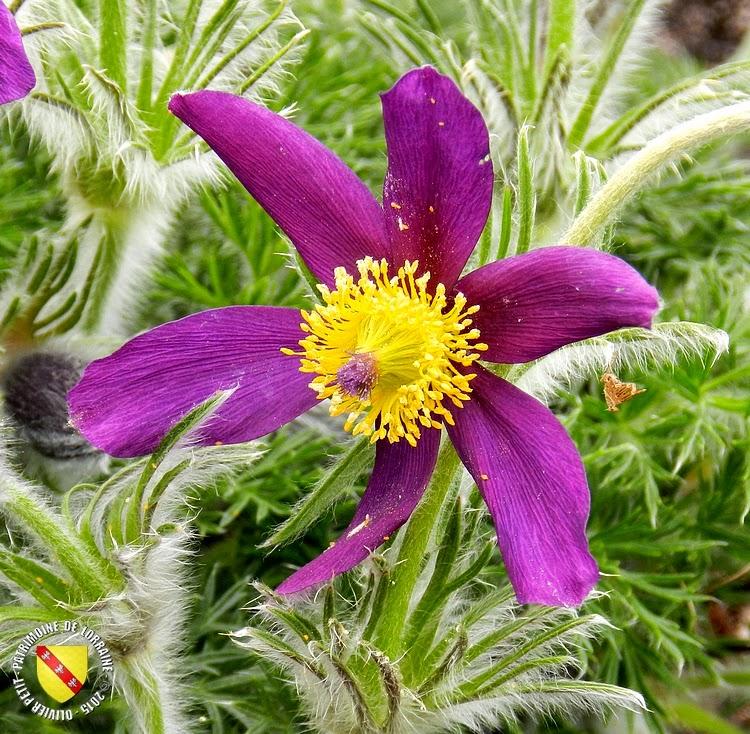 VILLERS-LES-NANCY (54) : Le jardin botanique du Montet-Anémones pulsatiles