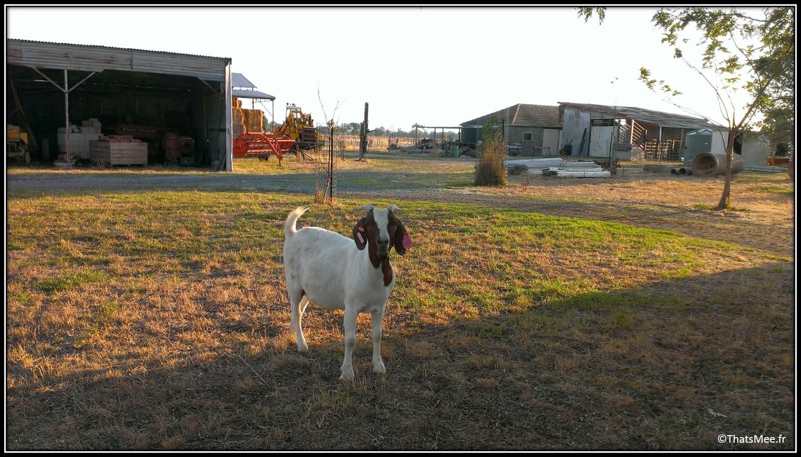 Chevre ferme farm King Valley Milawa Wangaratta Australie campagne Melbourne