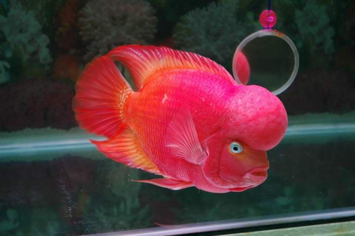 Flowerhorn The Hybrid Cichlids: Best Flowerhorn According To You