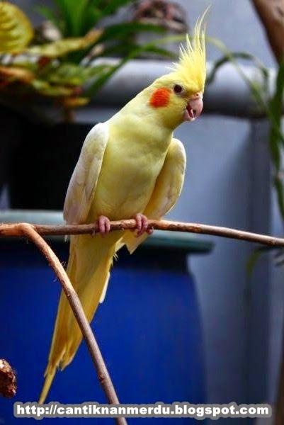 mengenal burung falk cockatiel dan jenis jenisnya