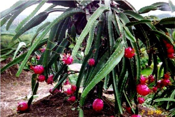 terra nostra: pitaya - pitahaya - hylocereus undatus