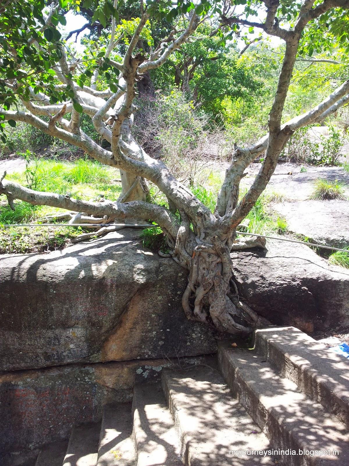 Trees growing on rocks - Siddara Betta