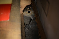 Young gray squirrel in Laura's basement