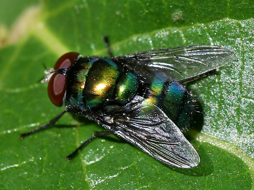 7 Cara Menghalau Lalat