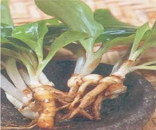 Tanaman Herbal Untuk Mengurangi Berat Badan