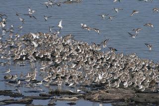 ハマシギとダイゼンの群れ(近隣の砂川河口にて)写真