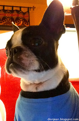 Sinead the Boston terrier is ready for action
