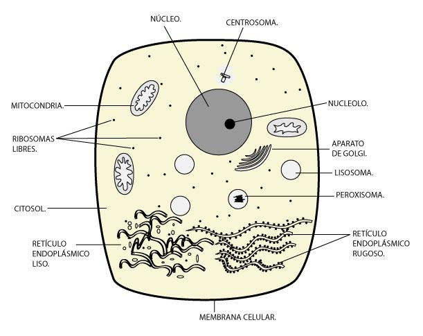 el moderno prometeo Breve aproximacin a la anatoma celular