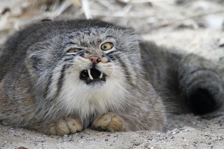 12 espécies raríssimas de felinos que você provavelmente não conhecia