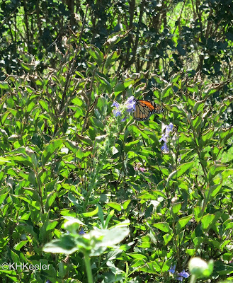 monarch butterfly in Maryland