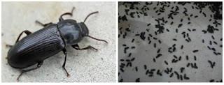 kumbang hongkong