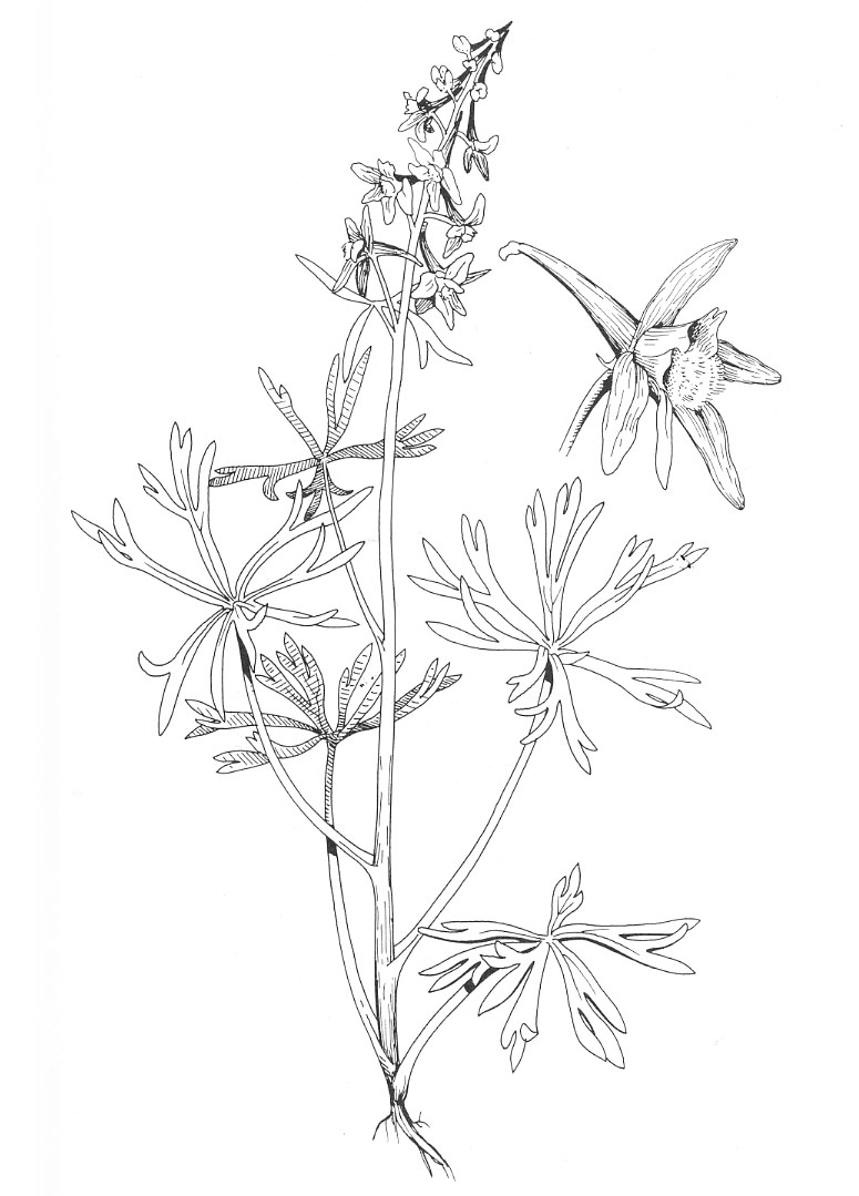 larkspur coloring pages - photo#20