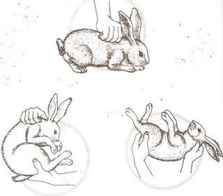 tips mengangkat dan menggenong kelinci