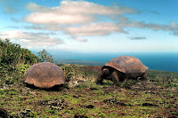 Giant Tortoises at Mangle Point, Fernandina, Galapagos