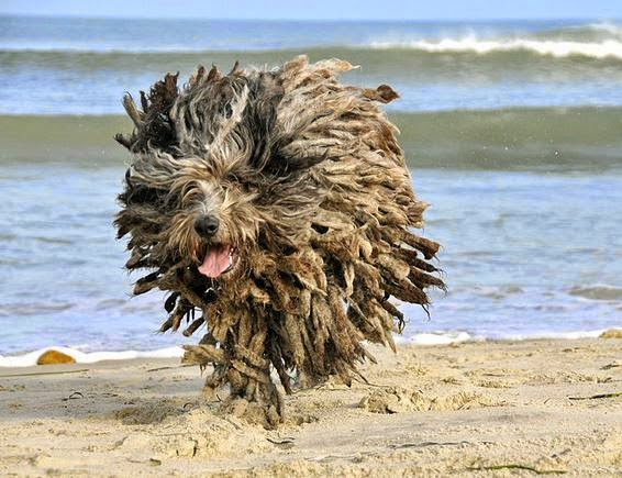 Bergamasco playa