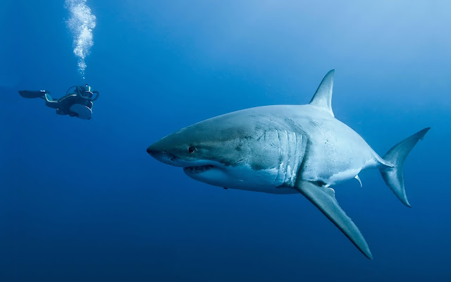 Achtergrond van een duiker en een gevaarlijke haai