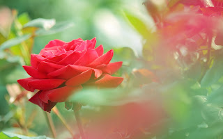 Beautiful Red Rose Flower HD Wallpaper