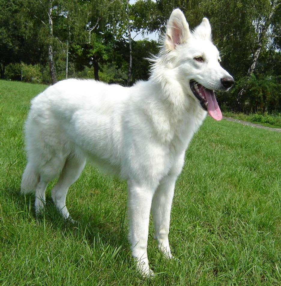 Types of shepherd dogs weight loss recipe for What type of dog is this