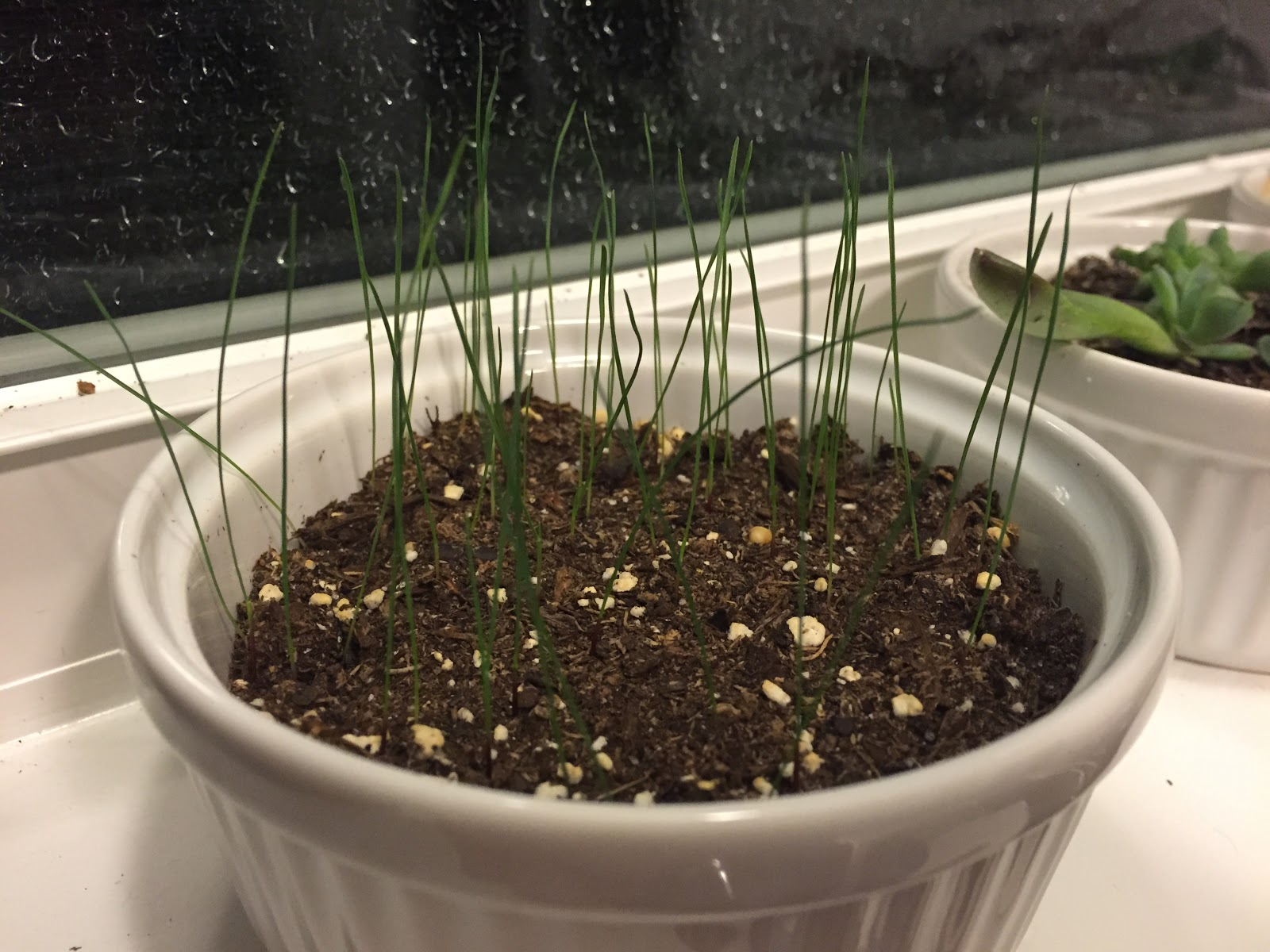 blue fescue seed progress photo