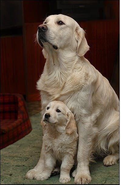 See more Cute big dogs http://cutepuppyanddog.blogspot.com/