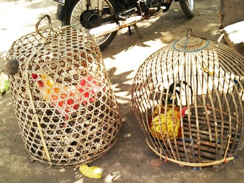 闘鶏用の鶏