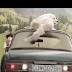 Όλοι μαζί στο αυτοκίνητο (βίντεο)...