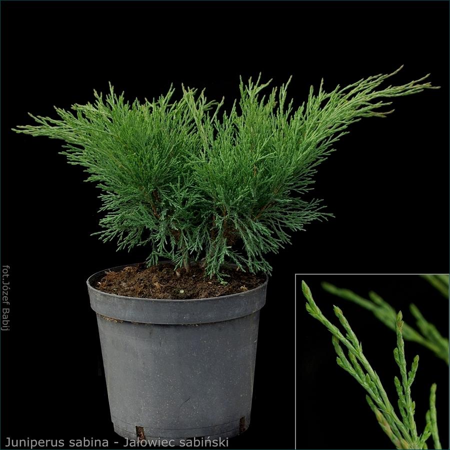Juniperus sabina - Jałowiec sabiński pokrój