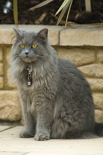 Long Haired Gray Cat Breeds