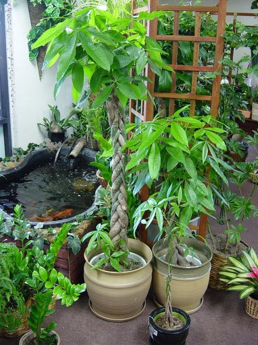 Abundancia amor y plenitud el arbol del dinero feng shui - Plantas para atraer el dinero ...