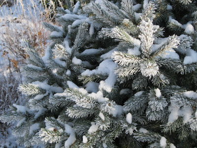 Frost on Yukon Blue spruce