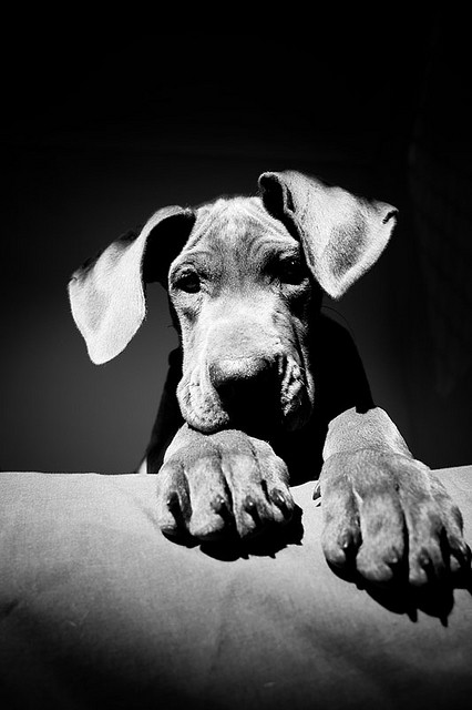Great Dane Dog History