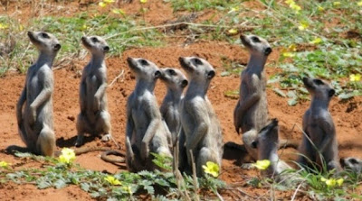 meerkats search the sky in unison
