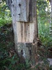 Kayu gaharu yang terbentuk hasil Inokulen Pokok Karas