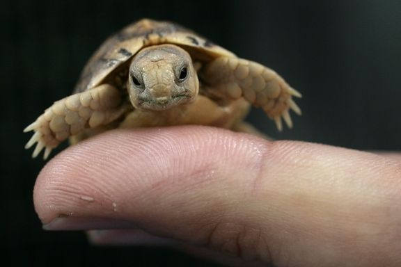 15 cutest endangered animals in the world, egyptian tortoise
