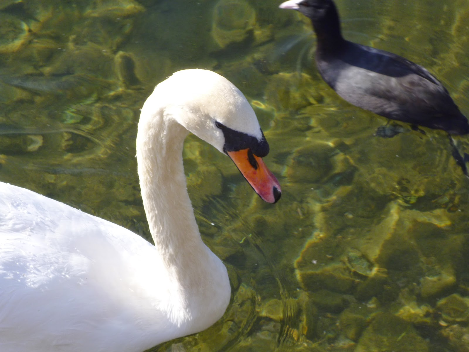 swan and coot swimming