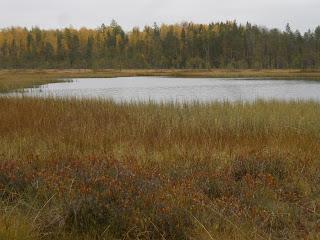 Болотное озеро с клюквой в Мозолово, 2015