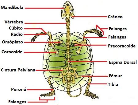 Dibujo del esqueleto de una tortuga indicando sus partes